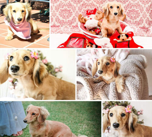 Von Greco Miniature Longhaired Dachshunds